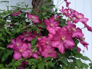pink climbing clematis flowers