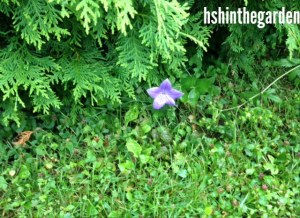 purple flower surrounded by grass and cedar