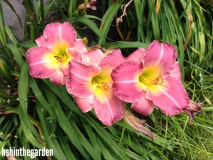 3 pink lilies