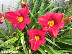 3 red lilies