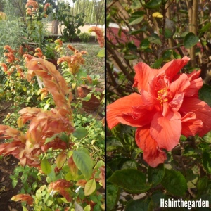 brown flower and orange hibiscus