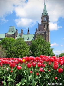 red tulips in front of parliament hill Ottawa