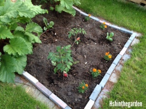 garden plot with newly planted plants (tomato and marigolds)