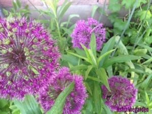 round purple allium flowers, close up