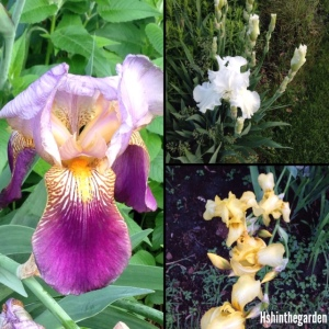 split screen with 3 types of irises: purple, white and yellow