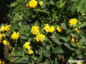 small yellow flowers on a plant with hearty green leaves
