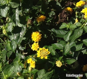 small yellow flowers on dark green bush plant
