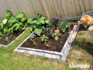 square garden plot with rhubarb and various kale plants