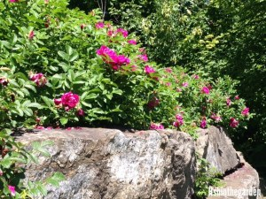 Alberta wild rose bushes on a rock ledge