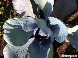 red cabbage plant