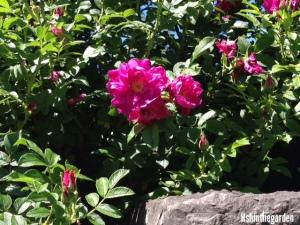 Alberta Wild Rose Bush