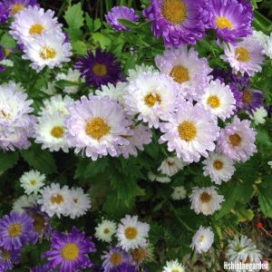 purple and white daisies with yellow middles