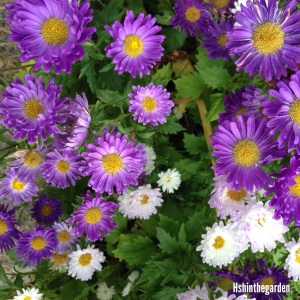 purple and white daisies