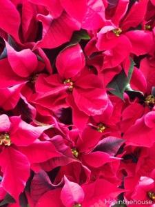 full screen of poinsettia flowers