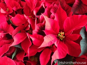 red poinsettia flowers