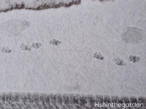 skunk prints in snow