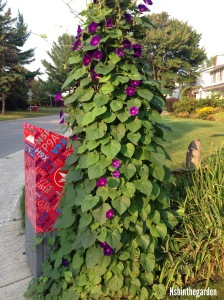 morning glory on a lamp post