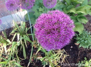 allium flower, purple