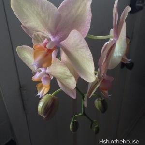 orchid on dark background
