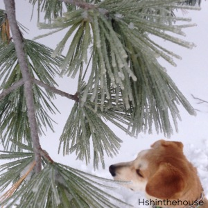 Taken from above: dog sitting under frost covered pine