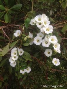 white cuban flowers