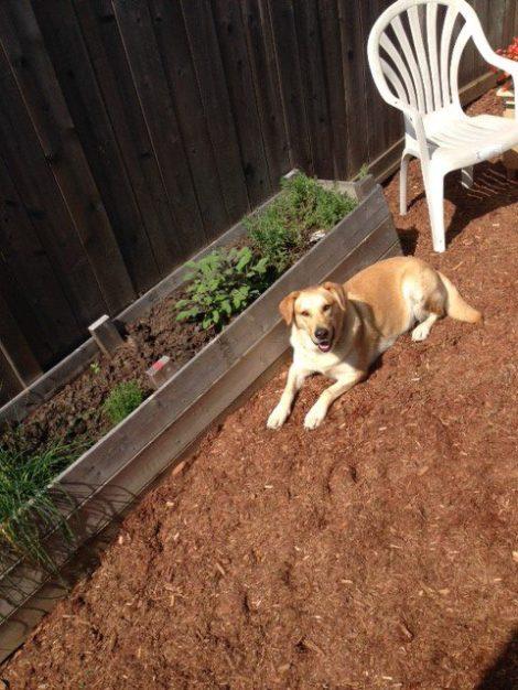 Gwenny testing out mulch