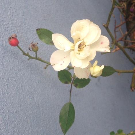 white rose, red rosehip